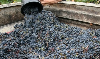Grape harvesting, tasting and unusual comfort